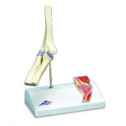 3B Scientific, modello di mini articolazione del gomito  con sezione trasversale, su base A87/1
