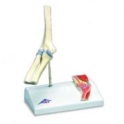 Erler Zimmer, modello anatomico funzionale di articolazione della mano e del braccio inferiore, con marcatura dei muscoli