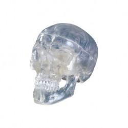 Cranio classico trasparente, scomponibile in 3 parti, modello anatomico 3B Scientific A20/T