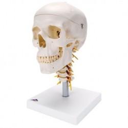 3B Scientific, Modello di  Cranio scomponibile classico con vertebre cervicali A20/1