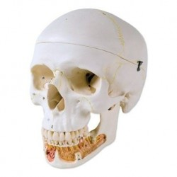 3B Scientific, modello anatomico di Cranio didattico classico con mandibola aperta A22