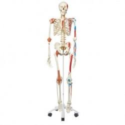 Modello di Scheletro umano Sam con legamenti articolari e inserzioni muscolari 3B Scientific A13