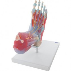 Erler Zimmer, anatomical model of foot skeleton articulation, on stand