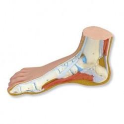 Erler Zimmer, modello anatomico funzionale di articolazione dell'anca, con legamenti, su stativo