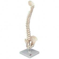 Erler Zimmer, modello anatomico funzionale di articolazione dello scheletro del piede, con tronchi di tibia e perone