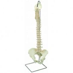 Erler Zimmer, modelo anatômico de articulação pé esqueleto, com troncos de tíbia e fíbula, contados
