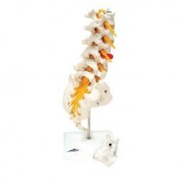 Erler Zimmer, modello anatomico di articolazione dello scheletro del piede, con tronchi di tibia e perone, su stativo