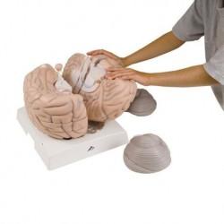 3B Scientific, modello anatomico di mega cervello VH409, ingrandito 2,5 volte, in 14 parti