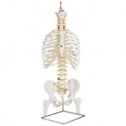 Colonna vertebrale flessibile classica 3B Scientific, cassa toracica e tronchi del femore A56/2