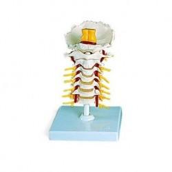 3B Scientific, modello anatomico di colonna vertebrale cervicale A72