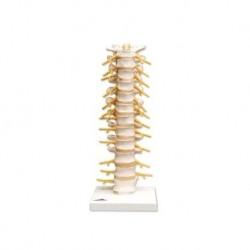 Erler Zimmer, modello anatomico di articolazione del ginocchio, con protesi