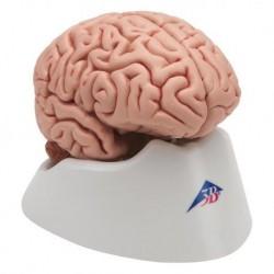Cervello 3B Scientific, modello anatomico classico in 5 parti C18