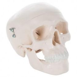 3B Scientific  - Modello anatomico di Mini cranio, in 3 parti A18/15