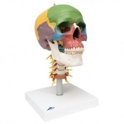 3B Scientific, Cranio, modello didattico, su vertebre cervicali, in 4 parti - A20/2