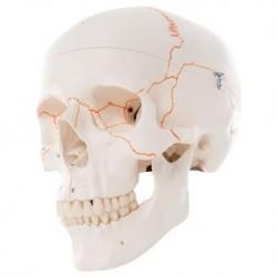 Cranio 3B Scientific, modello classico, con numerazione, in 3 parti A21