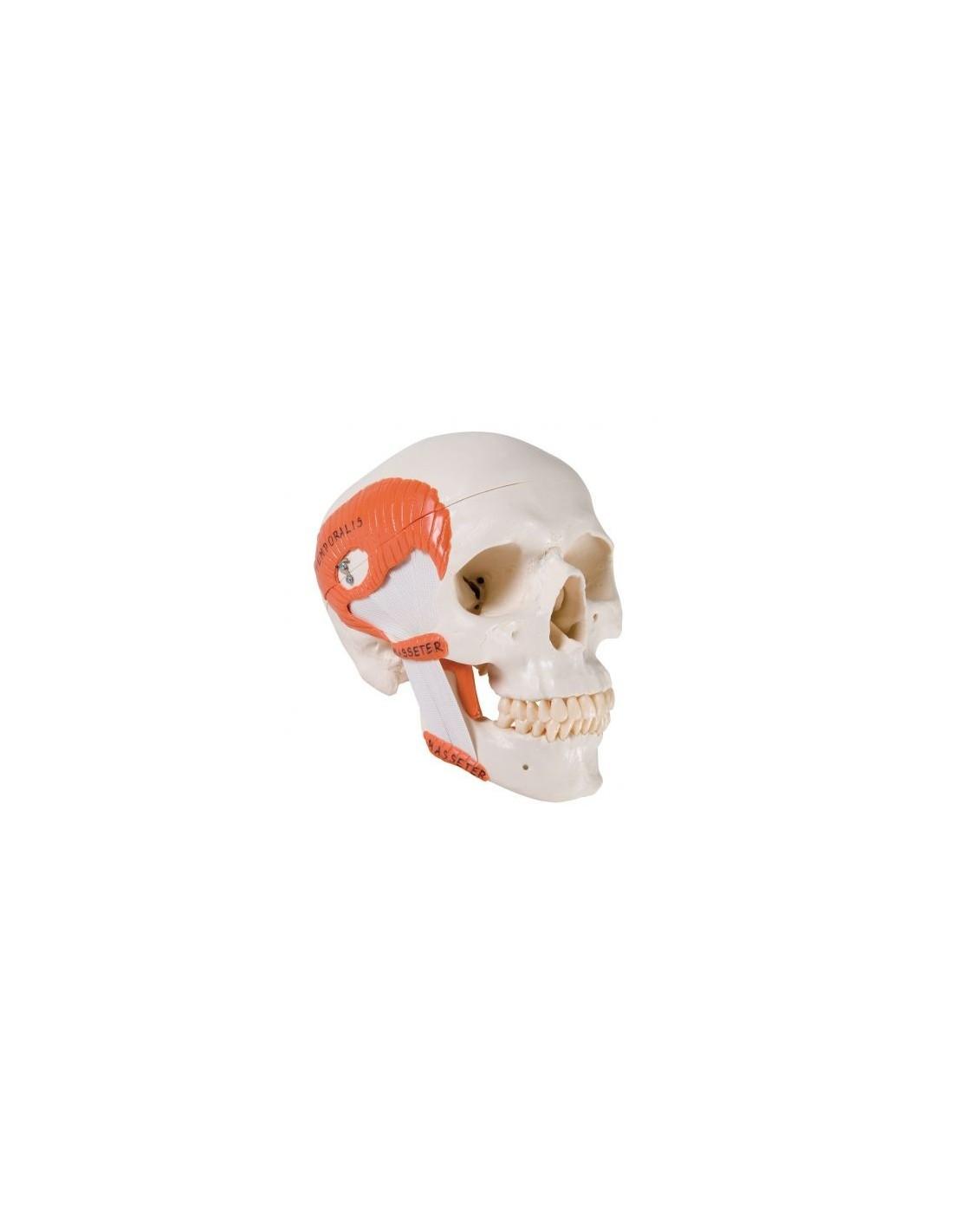 Charmant Menschliches Anatomisches Modell Galerie - Anatomie Ideen ...