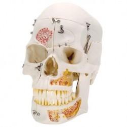 Cranio 3B Scientific, modello di lusso, per dimostrazioni, in 10 parti A27
