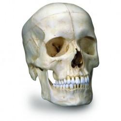 3B Scientific Cranio BONElike™ - cranio osseo, in 6 parti A281