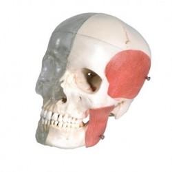 3B Scientific BONElike™ Cranio - cranio combinato, trasparente/osseo, in 8 parti A282