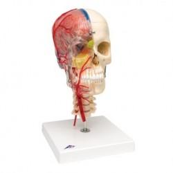 3B Scientific, BONE like™ cranio didattico di lusso, in 7 parti A283