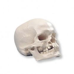Cranio con gnatoschisi e palatoschisi, modello 3B Scientific A29/3