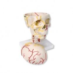 3B Scientific, Cranio neurovascolare W19018