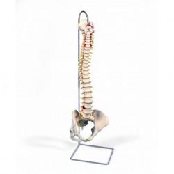 3B Scientific, Colonna vertebrale flessibile classica, con bacino femminile A58/4