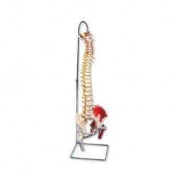 3B Scientific, Colonna Vertebrale di lusso classica dipinta, con tronchi del femore mobili e illustrazione dei muscoli A58/7