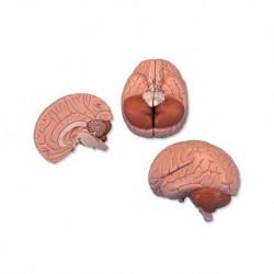 3B Scientific, modello anatomico di cervello, in 2 parti C15
