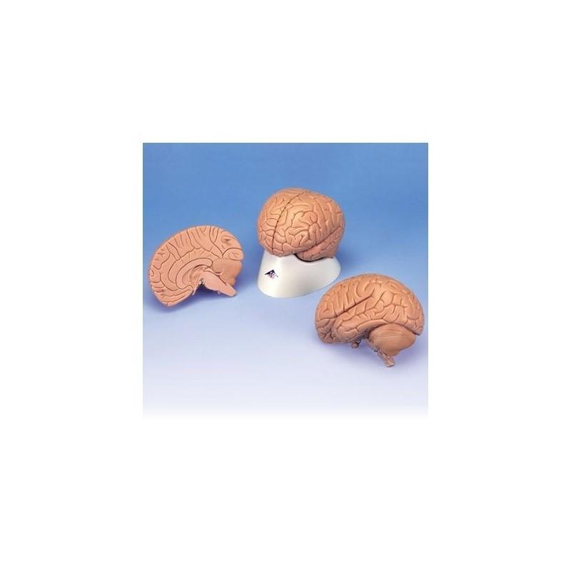 3B Scientific, modello anatomico economico di cervello, in 2 parti C15/1
