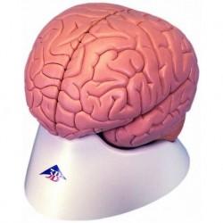 3B Scientific, Cervello, modello classico, scomponibile in 4 parti C16
