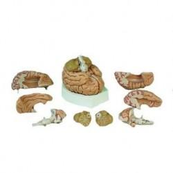 3B Scientific, modello di dente incisivo inferiore, in due parti  D10/1