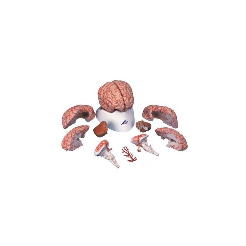3B Scientific, modello anatomico di lusso di cervello, con arterie, scomponibile in 9 parti C20
