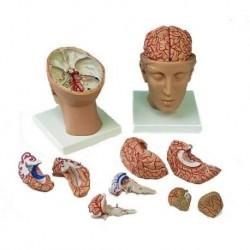 3B Scientific, modello anatomico di cervello, con arterie, con testa, in 8 parti C25