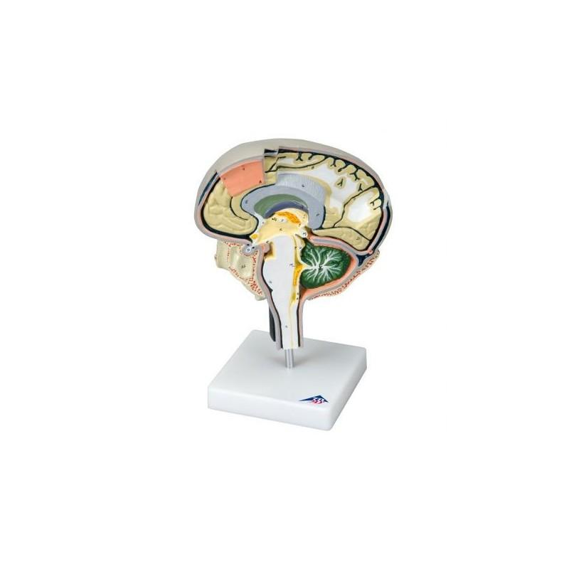 3B Scientific, modello didattico di sezione del cervello W19026