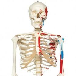 3B Scientific, Scheletro Max A11 con illustrazione dei muscoli, su cavalletto in metallo con 5 rotelle