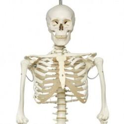 3B Scientific, Scheletro Phil A15/3, lo scheletro fisiologico su cavalletto in metallo da appendere con 5 rotelle