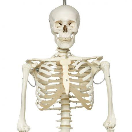 3b Scientific Half Anatomical Half Mandibular Model With 8 Dilated