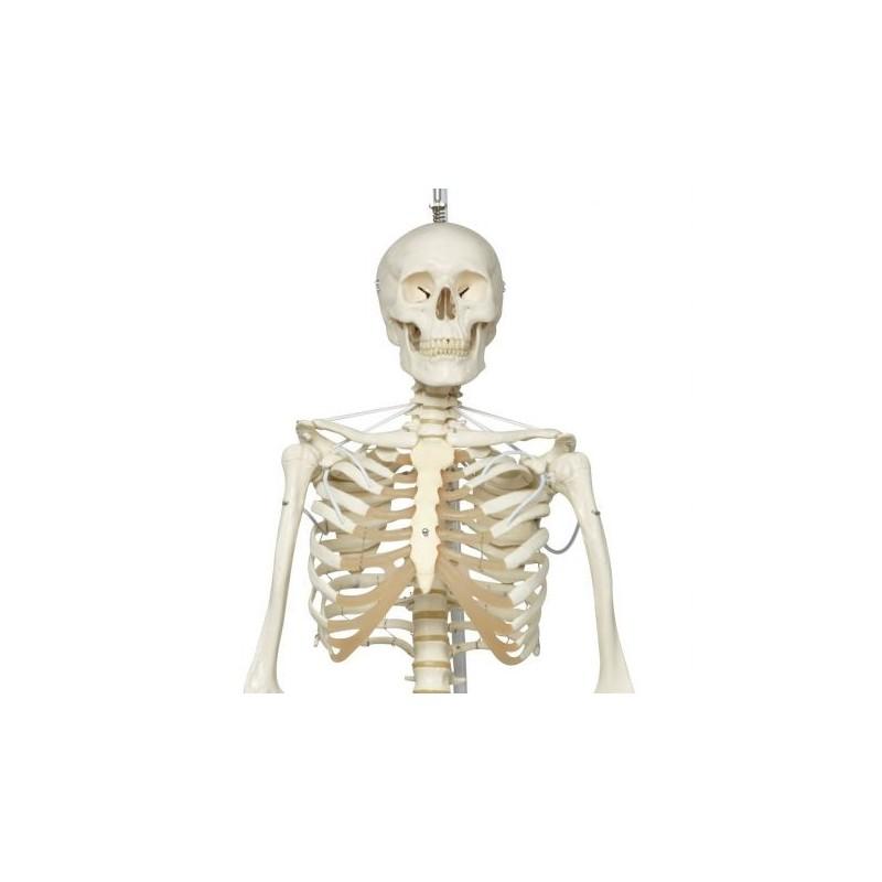 Scheletro 3B Scientific Feldi A15/3S, lo scheletro funzionale su cavalletto in metallo da appendere con 5 rotelle