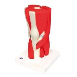Erler Zimmer, modello anatomico di serie di morfologia dentale,  ingrandito di 10 volte R10125