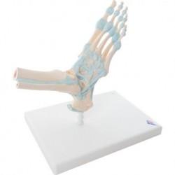 3B Scientific, modello di scheletro del piede, con legamenti M34
