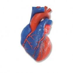 Modello anatomico di cuore, scomponibile in 5 parti, 3B Scientific G01/1