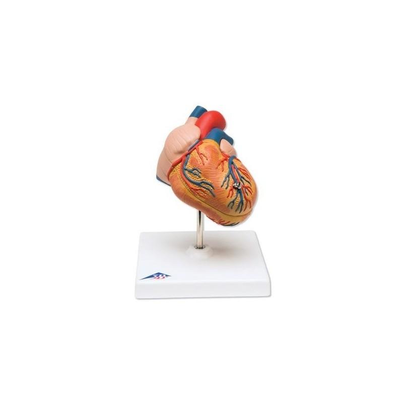 3B Scientific, cuore, modello classico con ipertrofia ventricolare sinistra, in 2 parti G04