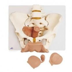 3B Scientific, Scheletro di bacino femminile con organi genitali, scomponibile in 3 parti L31