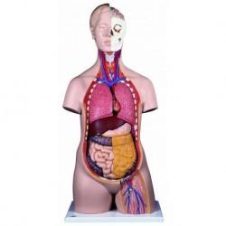3B Scientific, Modello anatomico di torso standard, senza sesso, scomponibile in 12 parti B09
