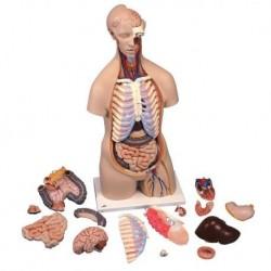 3B Scientific, torso standard senza sesso, scomponibile in 16 parti B11