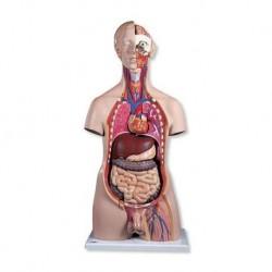 3B Scientific, torso maschile, modello anatomico di lusso, scomponibile in 20 parti B15