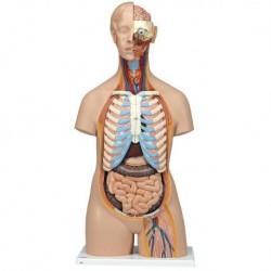 3B Scientific, Torso standard senza sesso, con schiena aperta, scomponibile in 21 parti B17