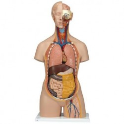 3B Scientific, Torso standard, senza sesso, con schiena aperta, scomponibile in 18 parti B19