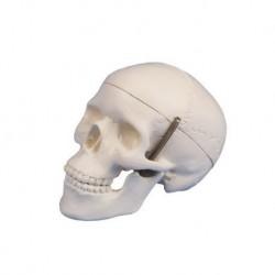 Erler Zimmer, modellino anatomico di mini cranio, scomponibile in tre parti 4650/1